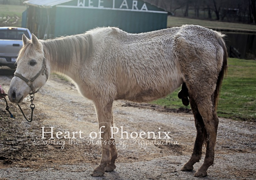 "A former race horse named ""Louisiana Gumbo"" endures gruesome neglect and  injury until saved by Heart of Phoenix in West Virginia"
